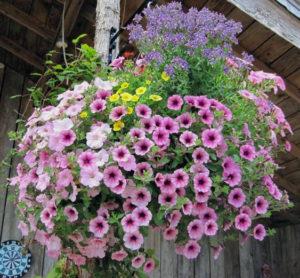 A typical Kleijn Nurseries flowering basket